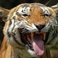 Royal Tiger by Navin Varma