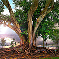 Rubber Tree by Mal Bray