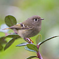 Ruby Crowned Kinglet by Jan McCamey Hill