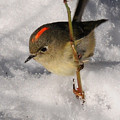 Ruby-crowned Kinglet by Joel Brady-Power