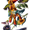 Ruby Throated Humming Bird Audubon Birds Of America 1st Edition 1840 Octavo Plate 253 by Orchard Arts
