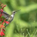 Ruby Throated Hummingbird 2017-4 by Thomas Young