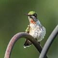 Ruby-throated Hummingbird by Jo Anne Keasler
