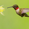 Ruby-throated Hummingbird by Mircea Costina Photography