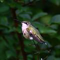 Ruby Throated Hummingbird by Paul Wilford