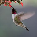 Ruby Throated Hummingbird by Sabrina L Ryan