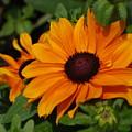 Rudbeckia Flower In Bloom by DejaVu Designs