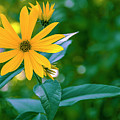 Rudbeckia Flowers In Bloom by Tetyana Boronylo