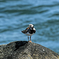 Ruddy Turnstone 2 by William Tasker
