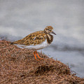 Ruddy Turnstone By The Waters Edge by John M Bailey
