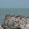 Ruddy Turnstones On A Rock by Holly Eads