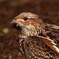 Ruffed Grouse by Bruce J Robinson