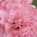Ruffled Pink Rose by Regina Geoghan