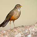 Rufous-bellied Thrush Turdus by Panoramic Images
