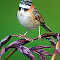 Rufous-collared Sparrow Zonotrichia by Panoramic Images