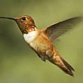 Rufous Hummingbird by Allen Lefever
