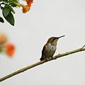 Rufous Hummingbird by Heiko Koehrer-Wagner