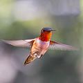 Rufous Hummingbird by Lowell Monke