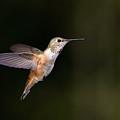 Rufous Hummingbird  by Randall Ingalls