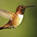 Rufous Hummingbird by Tim Hauf