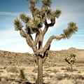 Rugged Joshua Tree by Alex Snay