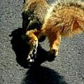 Runaway Fox Squirrel by Beth Akerman