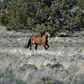 Running Bachelor Stallion by Out West Originals