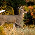 Running Buck by Larry Ricker