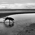 Running Dog Bw by Lyle Crump