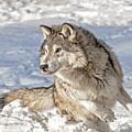Running Wolf by Scott Read