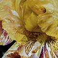 Russet And Umber Iris by Caryl J Bohn