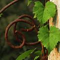 Rust Vine by Grant Groberg