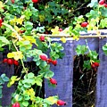 Rustic Fence And Wild Rosehips by Will Borden