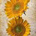 Rustic Sunflowers by Garry Gay