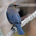 Rusty Blackbird by Alan Lenk