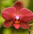 Rusty Orchid by Robert Coffey