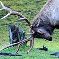Rutting Bull Elk by Tahomawind Photography