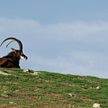 Sable Antelope On Hill by Jim And Emily Bush