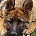 Sable German Shepherd Puppy by Sandy Keeton
