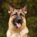 Sable German Shepherd by Sandy Keeton