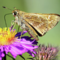 Sachem Skipper by Jennifer Robin