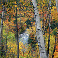 Saco River And Birches by John Burk