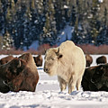 Sacred Bison by Ronnie and Frances Howard
