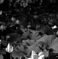 Sacred Lotus #2.    Black And White by David Lyons