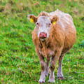 Sad Cow - Painterly by Les Palenik
