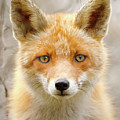 Sad Eyed Fox Of The Lowlands - Red Fox Portrait by Roeselien Raimond