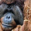Sad Orangutan by John McArthur