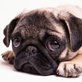 Sad Sack - Pug Puppy by Edward Fielding