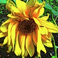 Sad Sunflower by Stephanie Moore