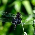 Saddlebag Dragonfly by Terri Waselchuk